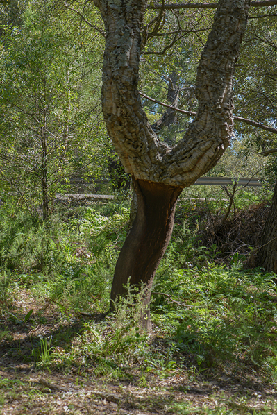Halvskuggig skogsmiljö för L. trabutianum
