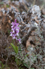 Orchis olbiensis, Malaga, Spanien 2013-04-09