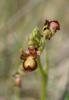 Ophrys speculum, Sierra de Grazalema Cadiz, (Sp.) 2013-04-11