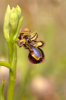 Ophrys speculum, Toscana 2010-04-14