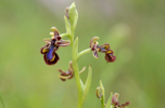 Ophrys speculum, Malaga, Spanien 2013-04-11