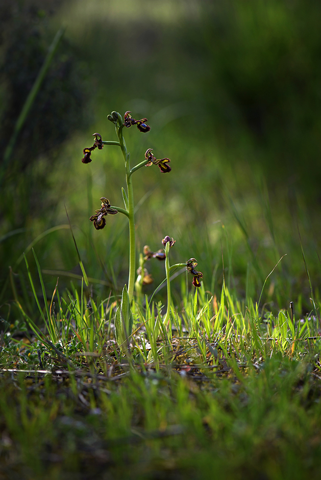 April 2013: Ophrys speculum i gles pinjeskog. Malaga, Spanien 2013-04-12