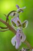 Orchis patens, Ligurien (It.) 2013-05-23