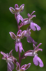 Orchis patens, Ligurien (It.) 2013-05-23