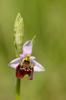 Ophrys tetraloniae, Emilia-Romagna (It.) 2013-05-22