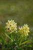 Dactylorhiza sambucina, Öland 2013-05-20
