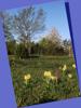 Dactylorhiza sambucina, Kinnekulle