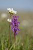 Orchis mascula, Öland 2013-05-20