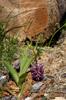 Orchis purpurea efter nattfrost, Alpes-Maritimes (Fr.) 2013-05-26