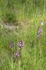 Orchis purpurea, Col de Crimone (Fr.) 2013-05-26