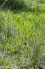 Dactylorhiza occitanica, Signes, (Fr.) 2013-05-25