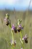 Ophrys_fuciflorOphrys fuciflora, Comps-sur-Artuby (Fr.) 2013-05-25a_4