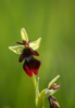 Ophrys insectifera, Skogatorp 2013-06-10