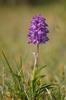 "Orchis mascula subsp. mascula ""peloria"", Kinnekulle 2013-05-29"