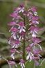 Orchis militaris x purpurea, Aveyron (Fr.) 2011-05-20