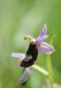 Ophrys bertolonii subsp aurelia, Lugagnano Val D'arda (It.) 2013-05-22