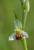 Ophrys apifera, Lugagnano Val D'arda (It.) 2013-05-22