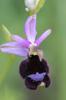 Ophrys bertolonii subsp aurelia, Bardi (It.) 2013-05-22