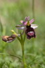 Ophrys bertolonii subsp. aurelia, Toirano (It.) 2013-05-24