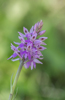 Dactylorhiza fuchsii, Ligurien 2013-05-24