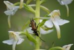 Platanthera chlorantha, Hunneberg 2013-06-25