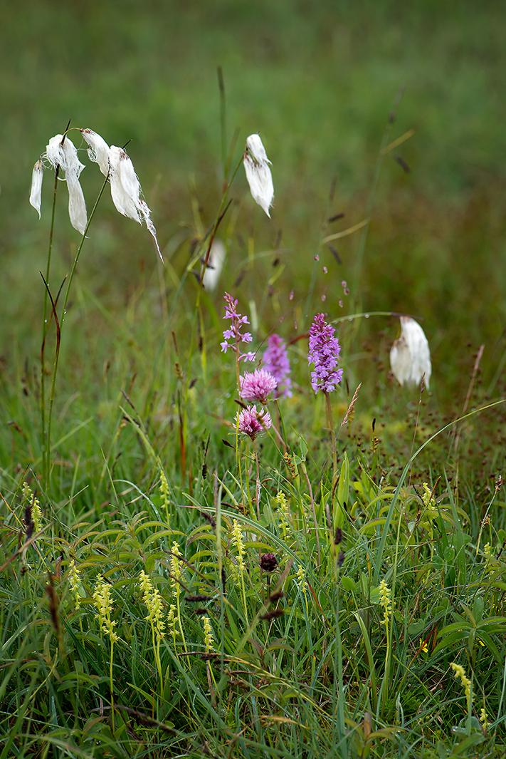 Juni: Honungsblomster (Herminium monorchis) och brudsporre (Gymnadenia conopsea) i regnvåt gräsmark på Kinnekulle, 2013-06-29