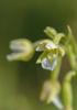 Epipactis palustris, Sillvik Torslanda 2013-07-20