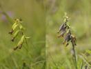 Epipactis palustris, Sillvik Torslanda 2012-07-30. Frökapslar efter lyckat pollinering. Grönvit variant till vänster och den vanliga till höger