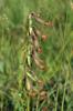 Frökapslar på Epipactis palustris