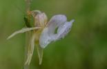 Epipogium aphyllum, Öresjö, Trollhättan 2013-08-11