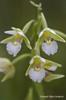 Epipactis palustris, Örbackens naturreservat 2013-07-05