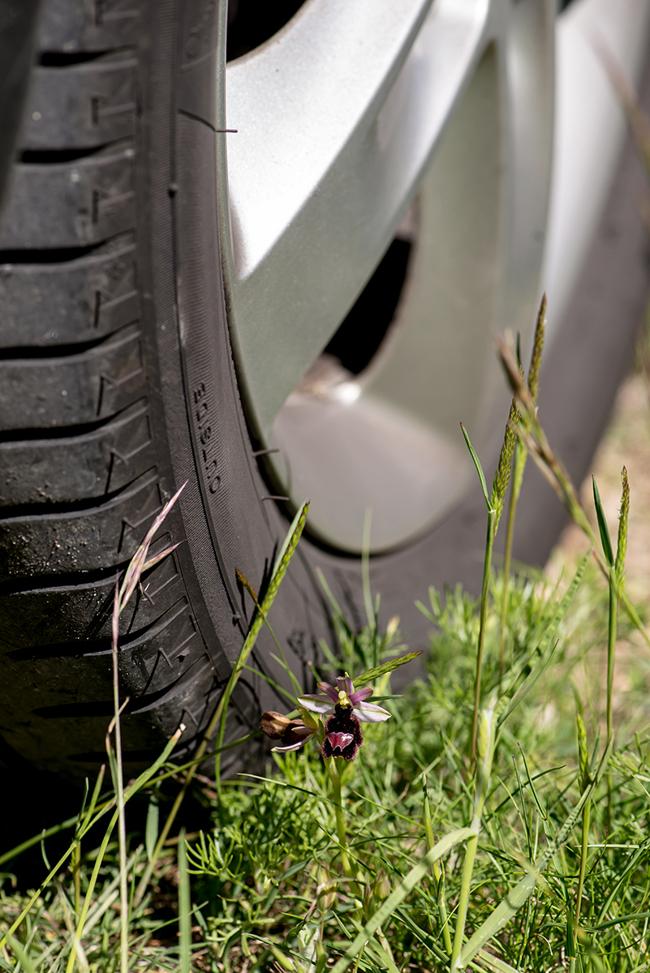 Oktober: Nära ögat! Ophrys bertolonii subsp. aurelia, Ligurien 2013-05-24