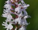 Dactylorhiza fuchsii subsp. fuchsii var.alba, Skogatorp 2009-06-29