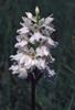 Dactylorhiza fuchsii subsp. fuchsii var.alba
