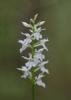 Dactylorhiza fuchsii subsp. fuchsii var.alba, Kinnekulle 2013-06-29