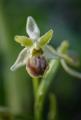 Ophrys araneola, Vercors (Fr.) 2013-05-26
