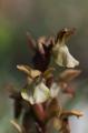 Anacamptis collina, Rhodos 2011-04-07