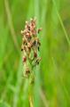 Anacamptis coriophora subsp fragrans, Var, Fr. 2009-06-14