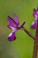 Anacamptis laxiflora, Rhodos 2011-04-06