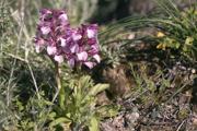Anacamptis papilionacea subsp. heroica, Rhodos 2011-04-04