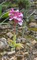 Anacamptis papilionacea subsp. heroica, Rhodos 2011-04-03