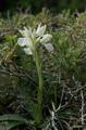 Anacamptis papilionacea subsp. heroica, Rhodos 2011-04-08