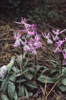Orchis anatolica subsp. anatolica, Cypern 2002-03-14