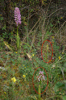 Orchis anthropophora x italica, Gargano 2011-04 -28
