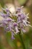 Orchis italica x Neotinea tridentata, Sicilien 2012-04-26