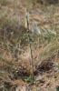 Spiranthes spiralis, Öland 2000-09-21