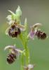 Ophrys bucephala, Spides, Lesbos (Gr.) 2014-04-17