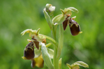 Ophrys bucephala, Andissa, Lesbos (Gr.) 2014-04-14