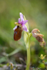 Ophrys lesbis, Andissa, Lesvos (Gr.) 2014-04-14