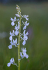 Anacamptis laxiflora var. alba, Lesvos (Gr.) 2014-04-12